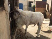 Mouton race ndama